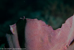 BD-111124-Raja-Ampat-5234-Turbinaria-mesenterina-(Lamarck.-1816)-[Disc-coral].jpg